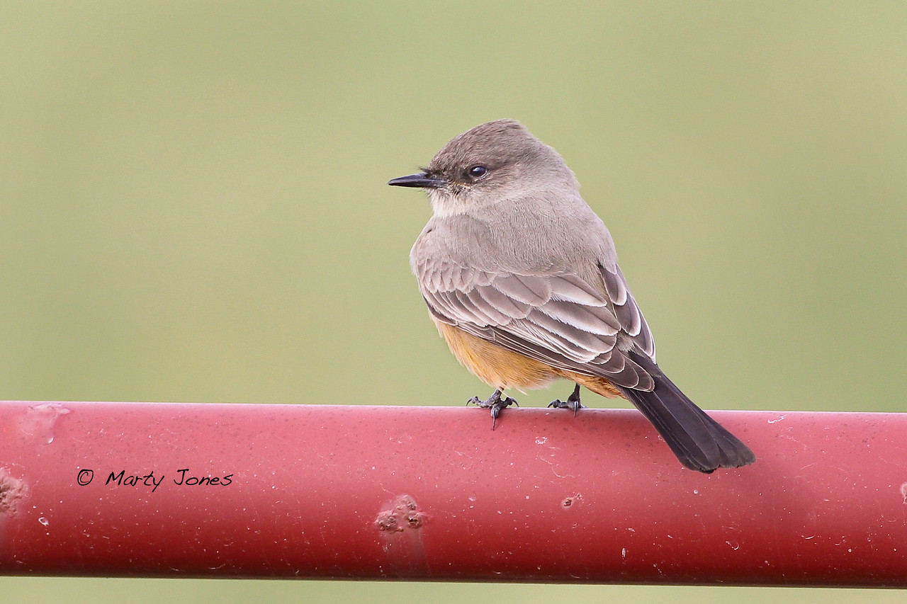 Say's Phoebe, Vigo County, Indiana, December 10, 2011.  My 302nd photographed Indiana bird species.