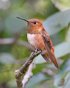 Rufous Hummingbird, Photographed at the Mark Arvin residence, West Lafayette, Indiana, September 26, 2006.