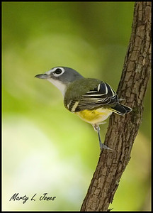Blue-headed Vireo, Parke County at Marshall Covered Bridge, September 26, 2008.  This is my 251st photographed bird species within the state of Indiana.