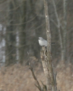Northern Shrike,  I only got a glimpse of the bird.  Waited two hours for a better photo, but he never reappeared.  Potato Creek State Park, February 19, 2007.