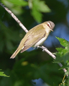 Red-eyed Vireo, Kankakee Fish and Wildlife Area, May 22, 2006