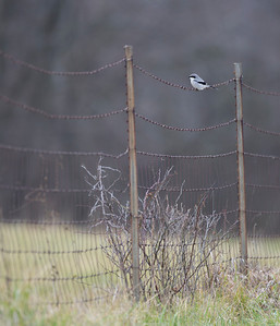 Loggerhead Shrike, Brazil Lagoons, Clay County, Indiana, December 16, 2012.  Found by Jim Sullivan.