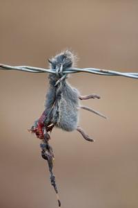 Loggerhead Shrike mouse kill, Davies County, Indiana on 1050E, July 18, 2010.