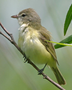 Bell's Vireo, Chinook Mine South, Clay County, Indiana, May 19, 2006