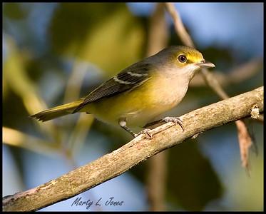 Yellow-throated Vireo, Tippecanoe State Park, Pulaski County, Indiana, September 17, 2008.