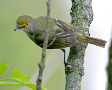 White-eyed Vireo, Terre Haute First's Forest Park, Vigo County, Indiana, May 18, 2006.
