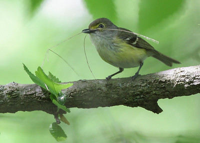 White-eyed Vireo carrying nesting material.  We found its nest located in a honeysuckle just 12 inches above the ground.  Fairbanks Landing, May 2013.