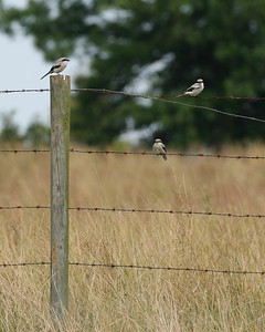 Loggerhead Shrike, Davies County, Indiana, July 1, 2007.