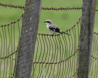 Loggerhead Shrike, Davies County, Indiana, July 1, 2007.