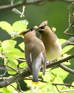 Cedar Waxwings, Indiana State University, Terre Haute, Indiana, May 14, 2010.