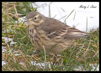 American Pipit, Royal Center, Cass County, Indiana, Dec 8, 2008.