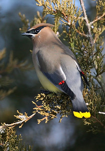 Cedar Waxwing, Clay County, Indiana, February 22, 2008.  Eating berries from an Eastern Red Cedar tree.  Approximately 20 other Waxwings also present.
