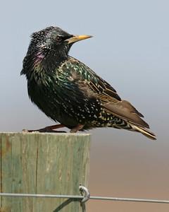 European Starling, December 2005, Chinook Mine North.