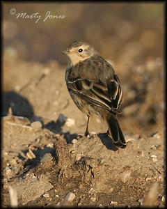 American Pipit, Southern Knox County, April 2, 2008.