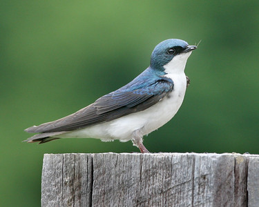 Tree Swallow, St. Mary of the Woods, Vigo County, Indiana, May 17, 2008.  Has bug in beak getting ready to fly to nest.