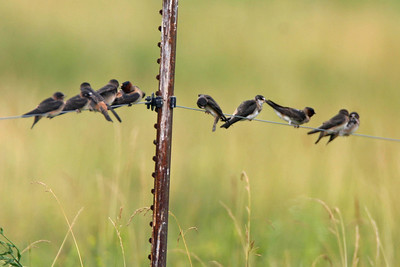 Cliff Swallows, Universal Mine, Vermillion County, Indiana, June 25, 2006