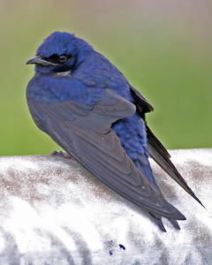 Purple Martin, Chinook Mine North, Vigo County, Indiana, May 14, 2006
