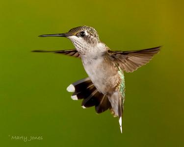 Ruby Throated Hummingbird, Vigo County, Indiana, August 12, 2010.  5 flash set-up at 1/32.