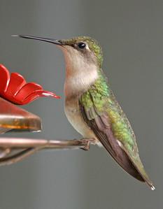 Female Ruby-throated Hummingbird, Vigo County, Indiana, July 4, 2006