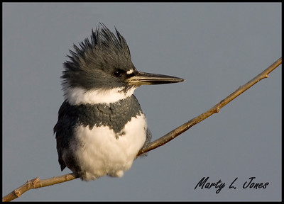 Belted Kingfisher, Universal Mine, Vermillion County, Indiana, December 12, 2008.