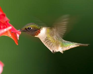 Ruby-throated Hummingbird, Home, July 3, 2008