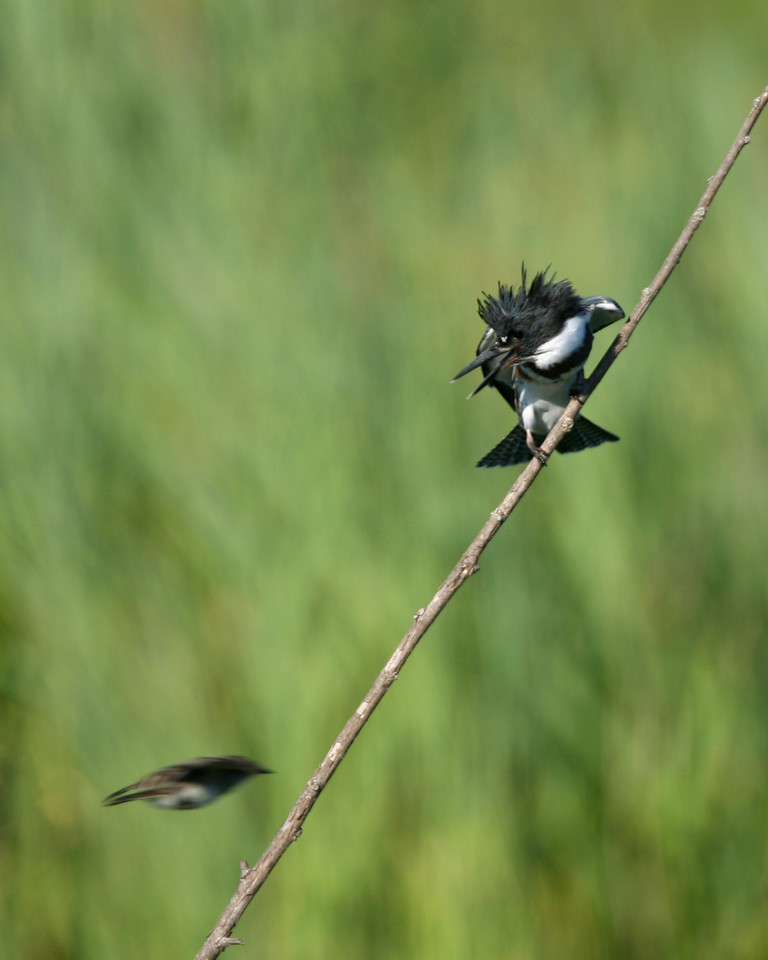 Belted Kingfisher and passing bird, Chinook Mine North, July 23, 2006.