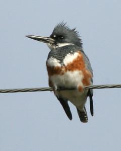 Belted Kingfisher (female), Hawthorn Mine, Sullivan County, Indiana, November 16, 2007.