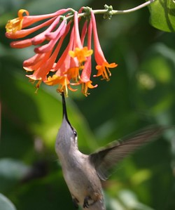 Hummingbirds photographed on a honeysuckle shrub in Terre Haute, Indiana, July 2004.