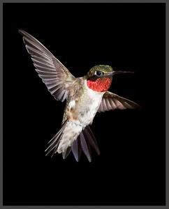 Ruby-throated Hummingbird, July 30, 2009.