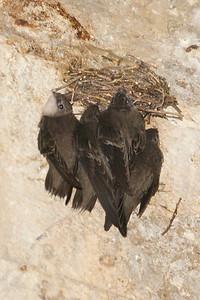 Chimney Swifts