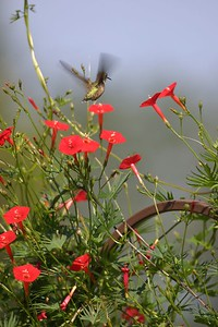 Cardinal flowers with Hummingbird, August 2004 in front yard.