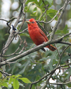 Summer Tanager, Backyard, NE Vigo County, Indiana, August 8, 2006.  Female Tanager was nearby.