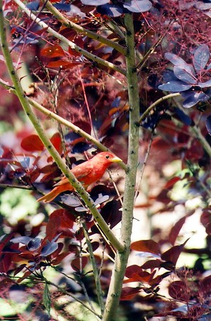 Summer Tanager, Front Yard, Terre Haute, Indiana, July 2003.