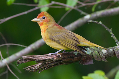 Female Summer Tanager, Daviess County, Indiana, May 16, 2013.