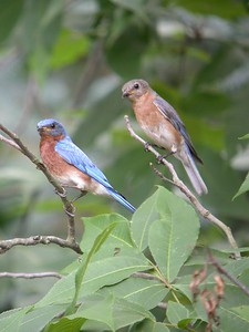 Male and Female Bluebirds, backyard, Terre Haute, Indiana, July 5, 2004.  This pair has layed two clutches of eggs in my nest box so far this year.  The day after this photo five eggs hatched and all seven birds were seen flying together.