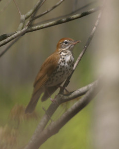 Wood Thrush, Portland Arch National Landmark, Fountain County, Indiana, April 27, 2006.