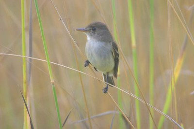 Willow Flycatcher, Chinook Mine, Clay Co., July 13, 2005.