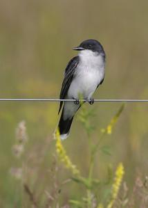 Eastern Kingbird, Universal Mine, Vigo County, Indiana, Big May Day Bird Count, May 12, 2012.