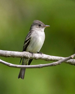 Eastern Wood Pewee, Peter Scott's property, Vigo County Indiana Big May Day Count, May 9,, 2009