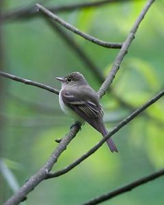 Acadian Flycatcher, ISU's Morris Landsbaum Woods, Vigo County, Terre Haute, Indiana, May 8, 2010.
