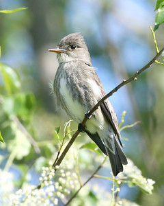 Olive-sided Flycatcher, Chinook Mine, Clay County, Indiana, May 16, 2008.  My 231st bird species photographed in Indiana.