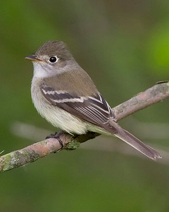 Least Flycatcher, Eagle Creek Park, Marion County, Indiana, May 13, 2009.