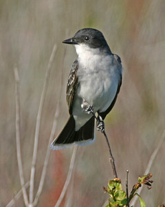 Eastern Kingbird, Jasper-Pulaski Wildlife Area, Pulaski County, Indiana, May 23, 2006
