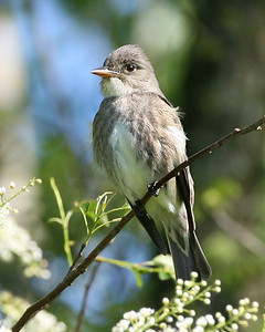 Olive-sided Flycatcher, Chinook Mine, Clay County, Indiana, May 16, 2008.