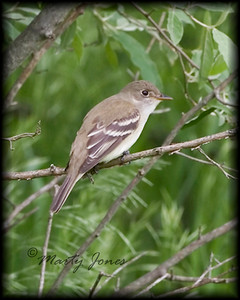 Alder Flycatcher,  positively identified by its voice, Chinook Mine, Clay County, Indiana, May 27, 2008.