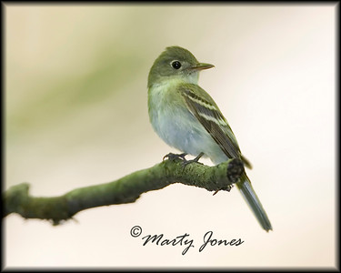 Tyrant Flycatchers - 10 of 11 species expected in Indiana have been photographed