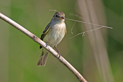 Willow Flycatcher, Gathering Twigs for nest, Goose Pond, Greene County, Indiana, June 4, 2006