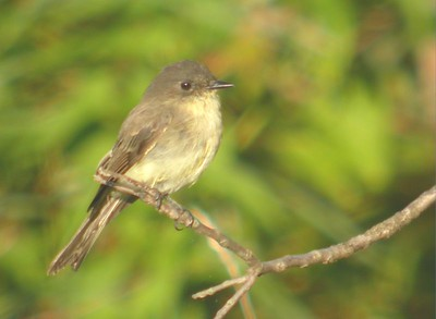 Willow Flycatcher, Prophetstown State Park, August 22, 2005, Lafayette, Indiana,