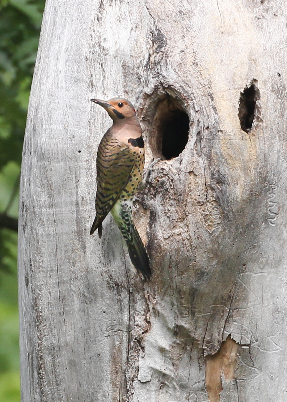 Northern Flicker at nest, Photographed along the river levee on the Rothrock property, Vigo County, Indiana, Big May Day Bird Count, May 12, 2012.   Flicker nest was in the same tree and only 10 feet below red-headed woodpecker nest hole.