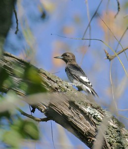 Immature Redheaded Woodpecker.  Tippecanoe River State Park north of Winamac, Indiana, Sept 2004.